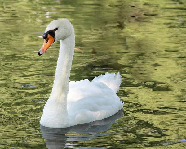 Photograph - Boston Public Garden Swan by Jemmy Archer