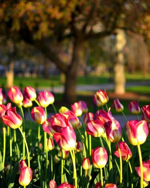 Photograph - Boston Public Garden Tulips by Toby McGuire