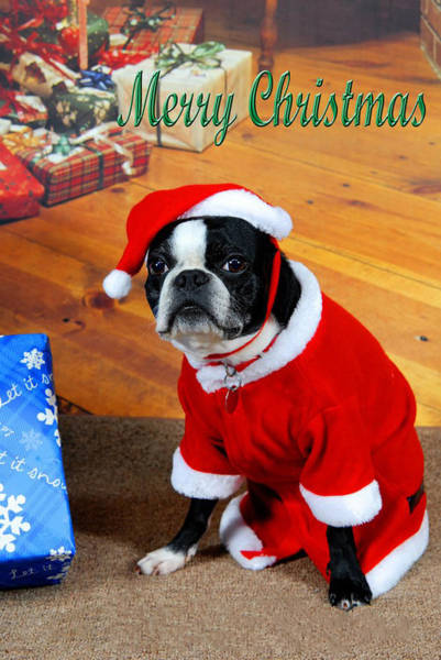 Boston Terrier Christmas Art Print