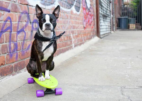 Skateboard Photograph - Boston Terrier On Skateboard In Urban by Chris Parsons