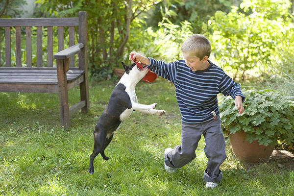 Breed Of Dog Photograph - Boston Terrier With Boy by Jean-Michel Labat