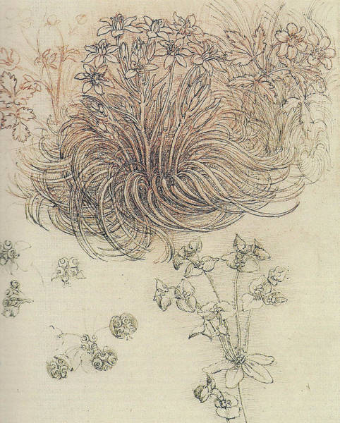 Bethlehem Drawing - Botanical Study by Leonardo da Vinci