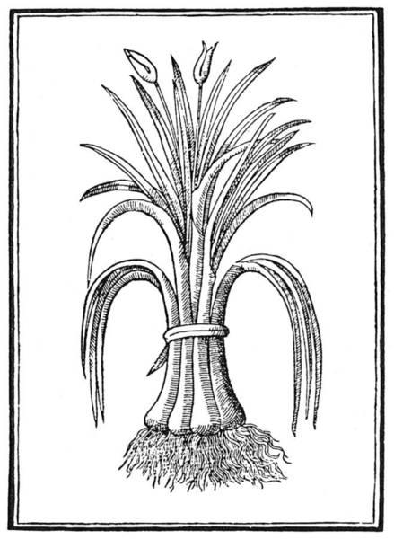 Bulb Drawing - Botany Leeks, 1579 by Granger