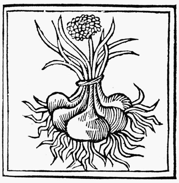 Bulb Drawing - Botany Onion, 1482 by Granger