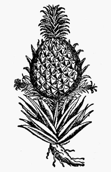 Pineapples Drawing - Botany Pineapple, 1586 by Granger