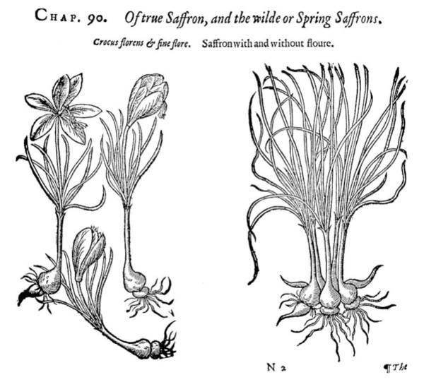 Bulb Drawing - Botany Saffron Crocus by Granger