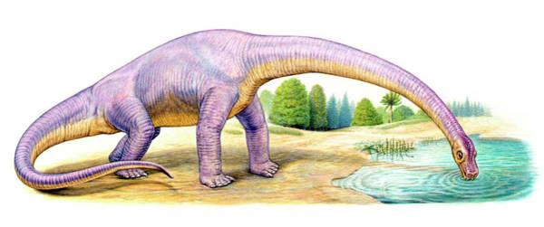 Palaeozoology Wall Art - Photograph - Bothriospondylus Dinosaur by Deagostini/uig