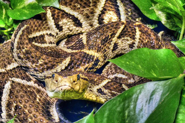 Asps Photograph - Bothrops by JC Findley