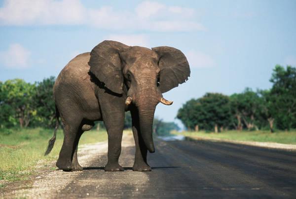 Chobe National Park Wall Art - Photograph - Botswana, Chobe National Park, Elephant by Paul Souders
