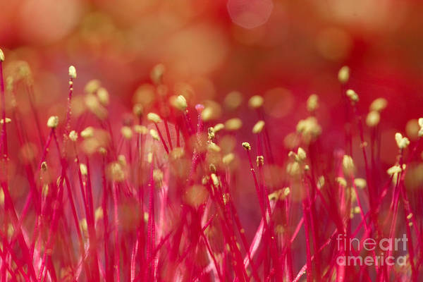 Photograph - Bottle Brush Stamens by Chris Scroggins