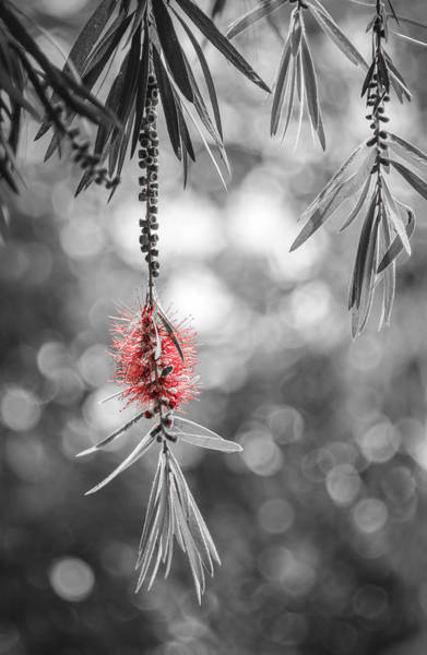 Photograph - Bottlebrush by Carolyn Marshall