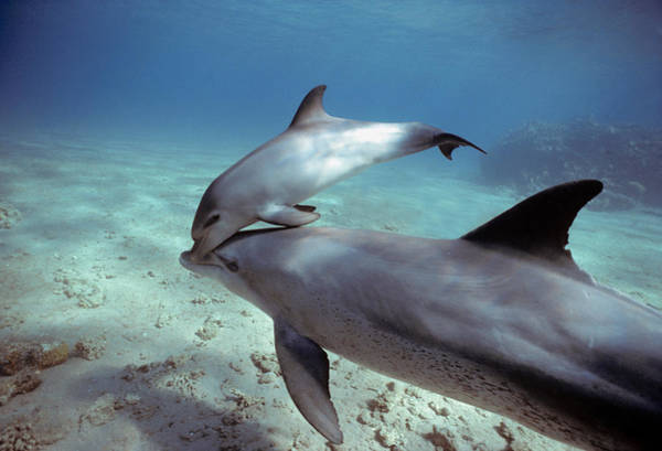 Photograph - Bottlenose Dolphin And Calf by Jeff Rotman