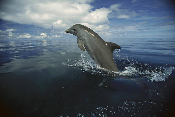 Photograph - Bottlenose Dolphin Leaping Honduras by Konrad Wothe
