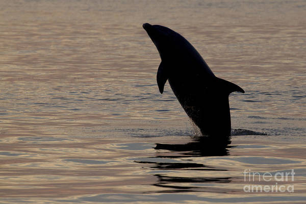 Photograph - Bottlenose Dolphin by Meg Rousher