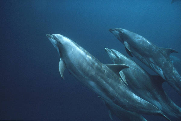 Photograph - Bottlenose Dolphins Galapagos Islands by Mark Jones