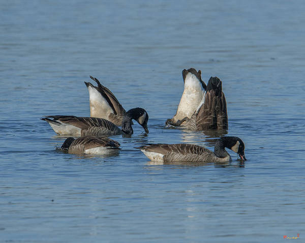 Photograph - Bottoms Up-canada Geese Feeding On Bay Bottom Dwf119 by Gerry Gantt