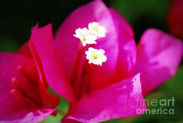 Wall Art - Photograph - Bougainvillea Blossoms by Leanne Seymour