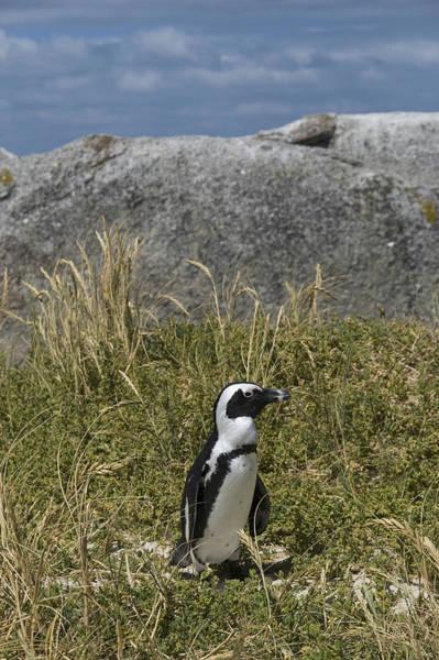 Wall Art - Photograph - Boulders Penguin by Sarah-jane Laubscher