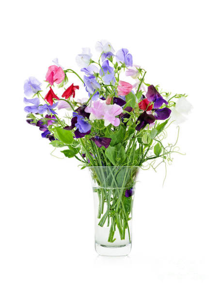 Glass Vase Photograph - Bouquet Of Sweet Pea Flowers by Elena Elisseeva