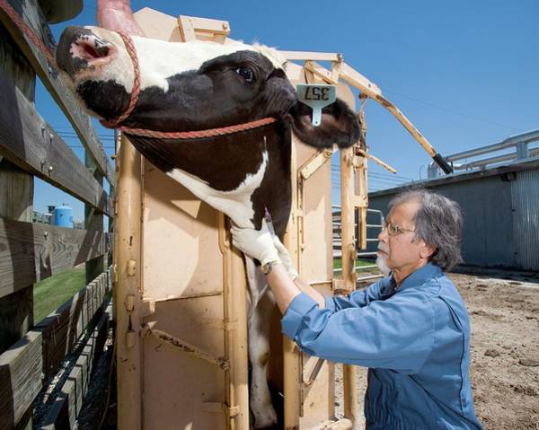 Restrain Photograph - Bovine Prion Disease Research by Stephen Ausmus/us Department Of Agriculture