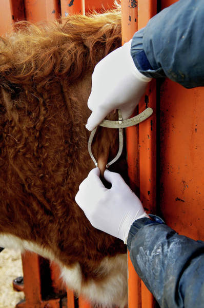 Wall Art - Photograph - Bovine Tuberculosis Screening by Paul Avis/science Photo Library