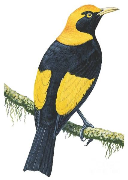 Colourful Drawing - Bowerbird  by Anonymous