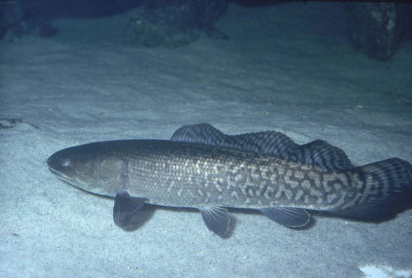 Bowfin Photograph - Bowfin by Carleton Ray