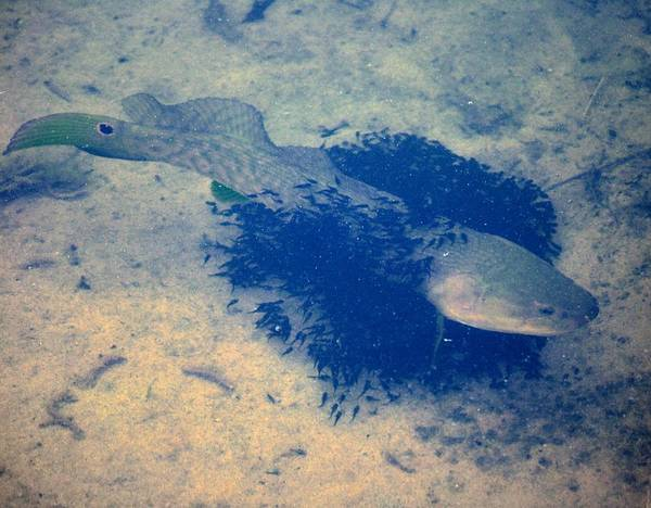 Bowfin Photograph - Bowfin With Fry  by Barbara Hart