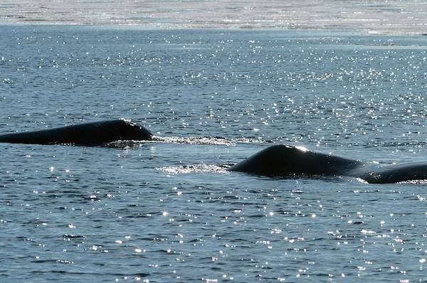 Blowhole Photograph - Bowhead Whales by Louise Murray/science Photo Library
