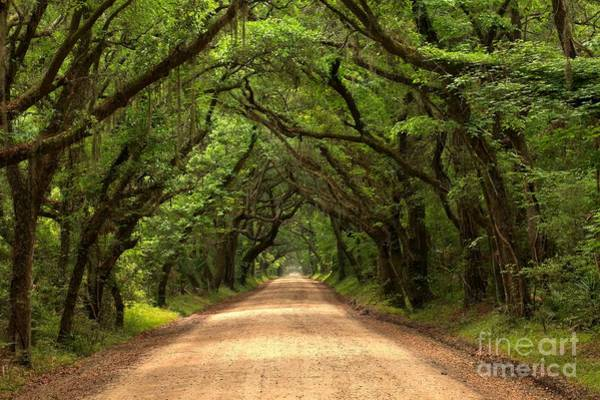 Photograph - Bowing Oak Trees by Adam Jewell