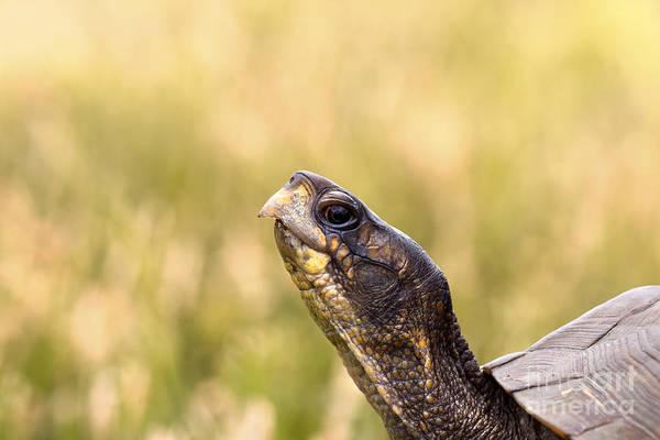 Box Turtle Photograph - Box Turtle Closeup Headshot by Brandon Alms