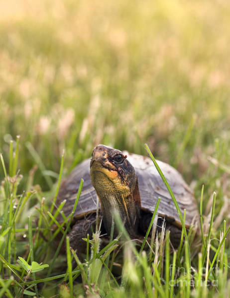 Box Turtle Photograph - Box Turtle In The Grass by Brandon Alms
