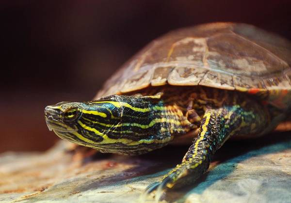 Tortoise Shell Photograph - Box Turtle by Jim Hughes