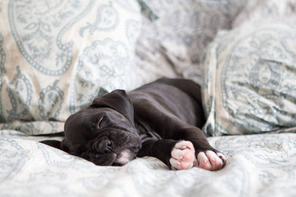 Dog Lover Photograph - Boxer Puppy Sleeping by Stephanie McDowell