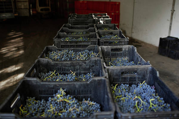 Winemaking Photograph - Boxes Of Petit Verdot Grapes by Klaus Vedfelt