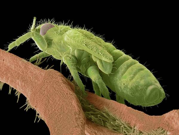 Biological Pest Control Photograph - Boxwood Psyllid Larva by Steve Gschmeissner