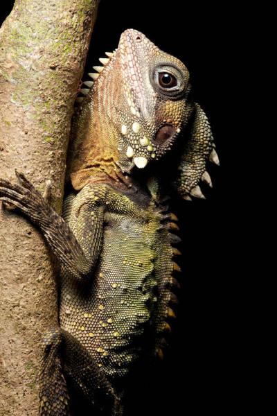 Boyd Photograph - Boyd's Forest Dragon by Dirk Ercken