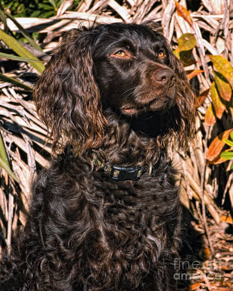 Wall Art - Photograph - Boykin Spaniel Portrait by Timothy Flanigan