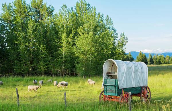 Stagecoach Photograph - Bozeman, Montana Scenic View Of Sheep by Bill Bachmann