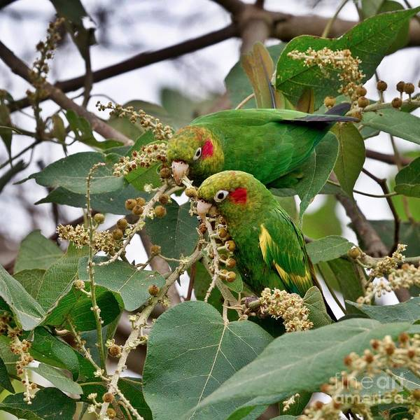 Photograph - Brace Of Chiriqui Conures by Heiko Koehrer-Wagner