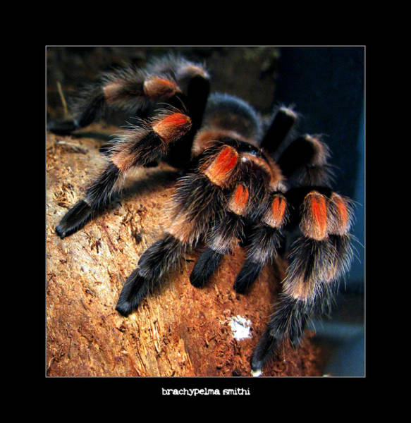 Photograph - Brachypelma Smithi - Redknee Tarantula by Daliana Pacuraru