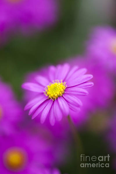 Photograph - Swan River Daisy by Tim Gainey