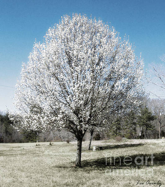 Photograph - Bradford Pear by Lee Owenby