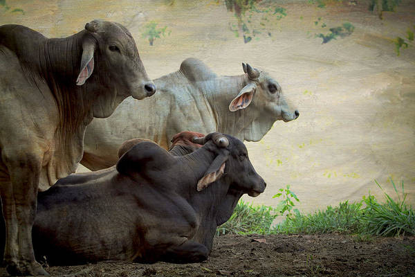 Photograph - Brahman Cattle by Peggy Collins