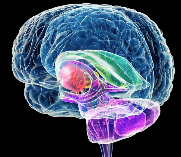 Computer Illustration Photograph - Brain Anatomy by Roger Harris