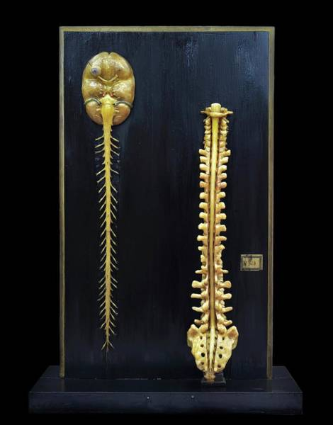 Anatomical Model Wall Art - Photograph - Brain And Spinal Cord Model by Javier Trueba/msf