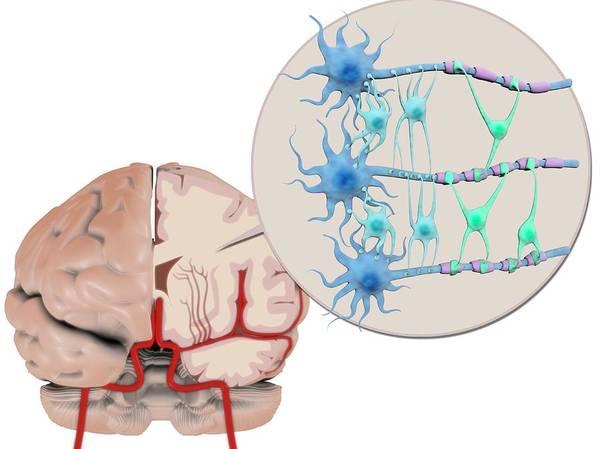 Myelin Wall Art - Photograph - Brain Cells And Neuroglia by Gunilla Elam/science Photo Library