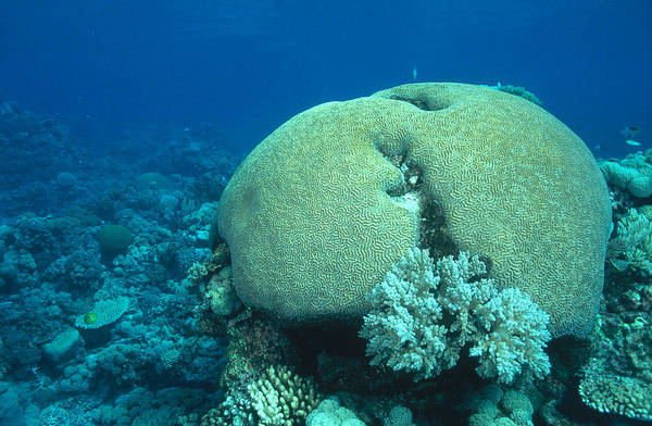 Wall Art - Photograph - Brain Coral by F. Stuart Westmorland