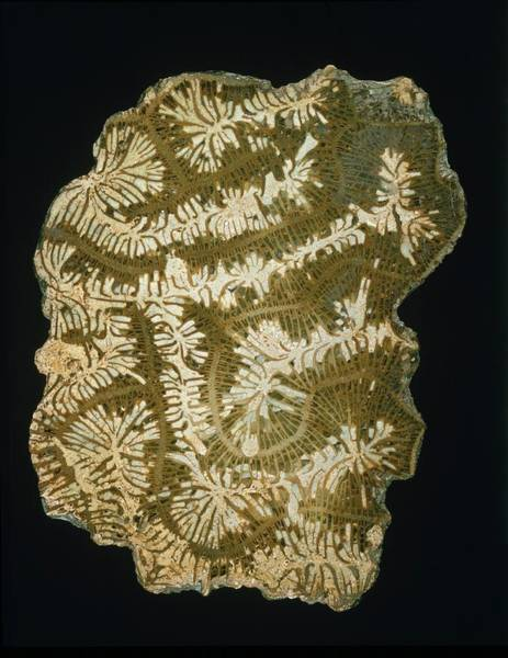 Wall Art - Photograph - Brain Coral Fossil by Natural History Museum, London/science Photo Library