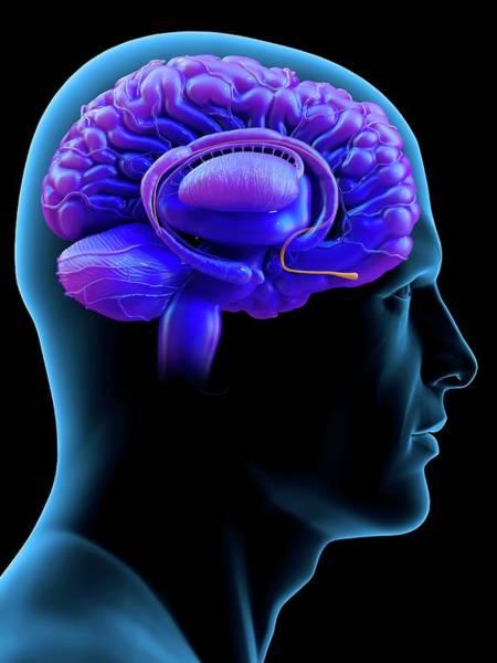 Olfactory Bulb Photograph - Brain Olfactory Bulb by Tim Vernon / Science Photo Library
